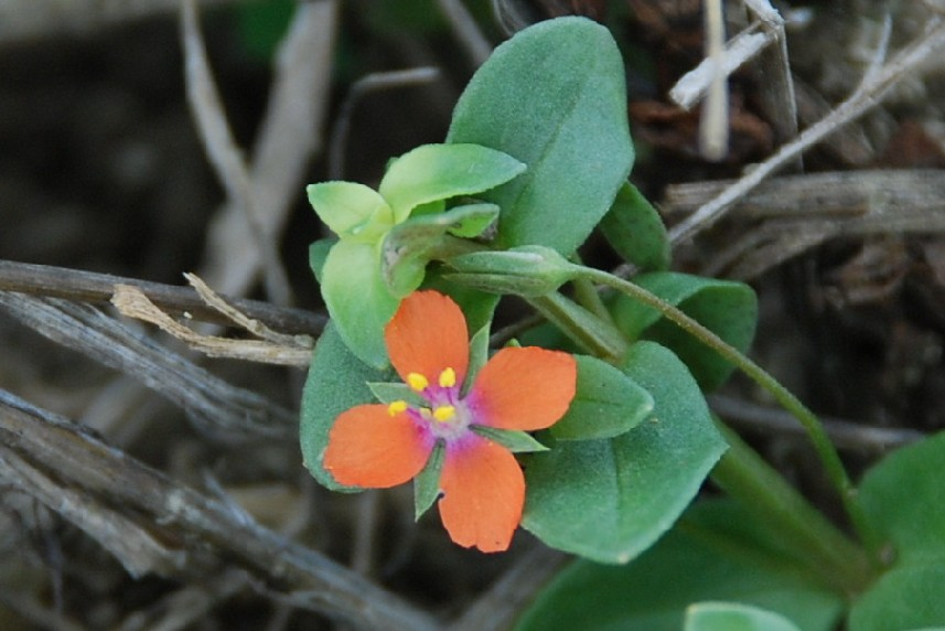Anagallis arvensis subsp. arvensis 5