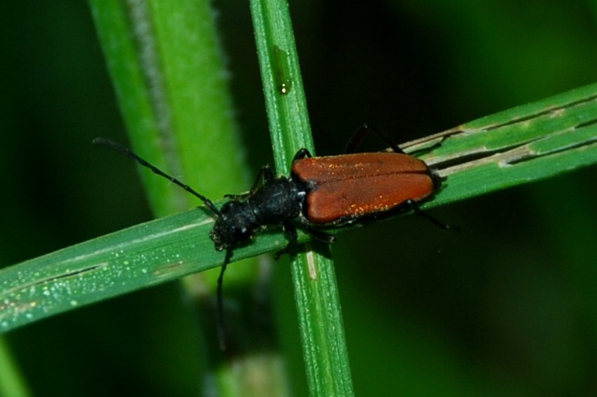Anastrangalia sanguinolenta - Cerambycidae