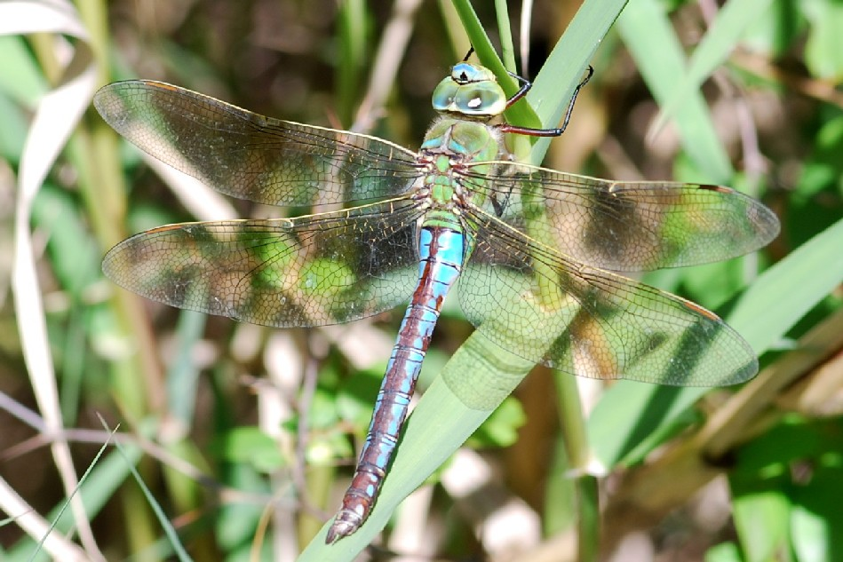 Anax imperator - Aeshnidae