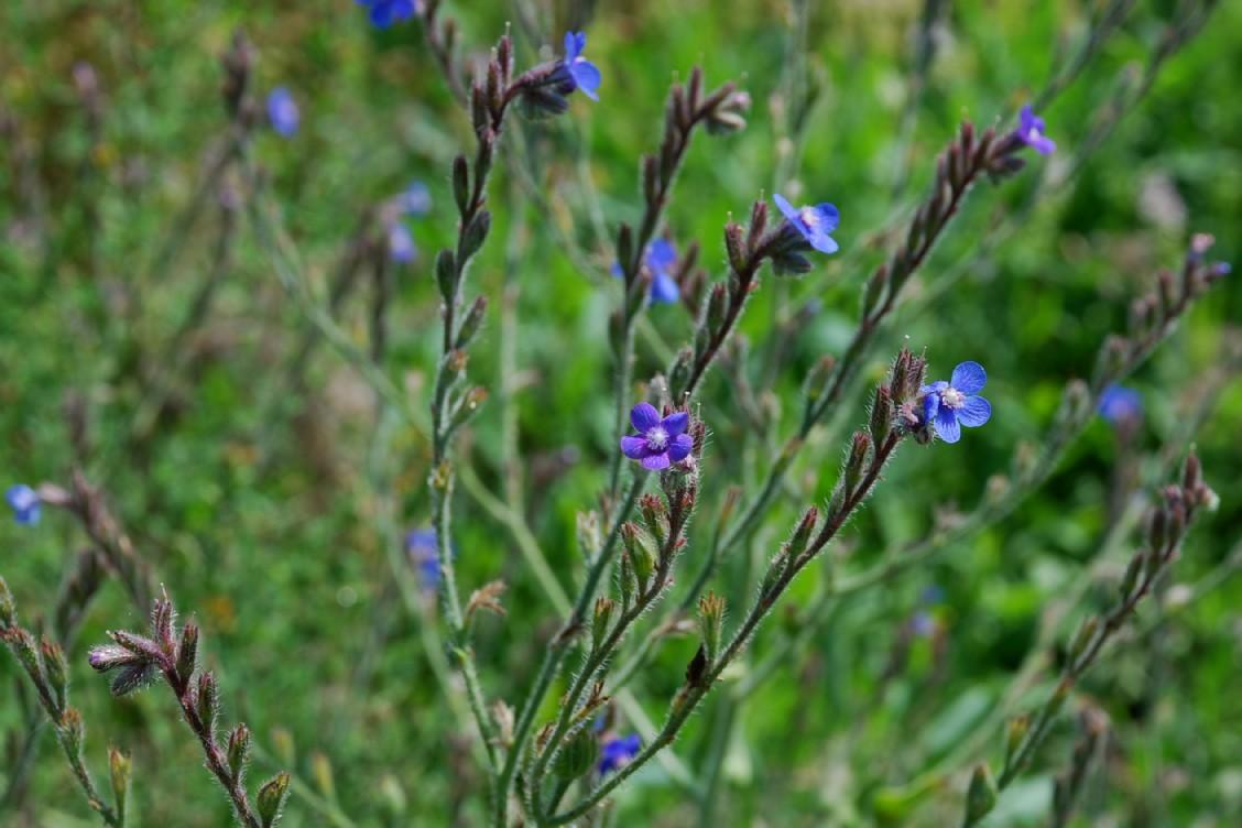 Anchusa azurea 15
