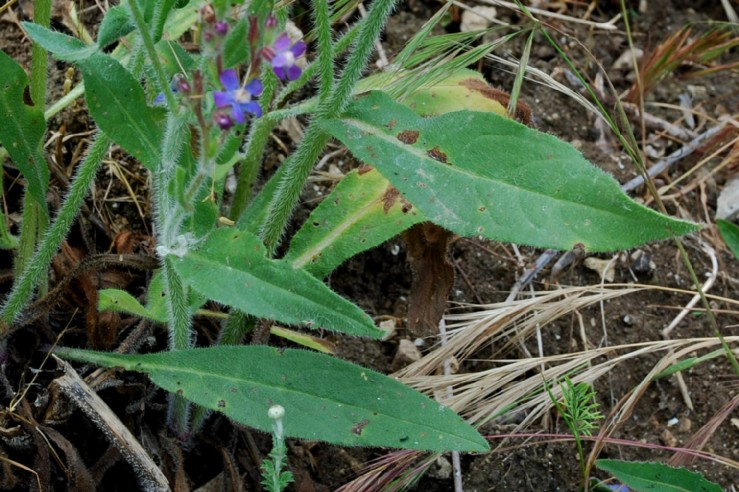 Anchusa azurea 21