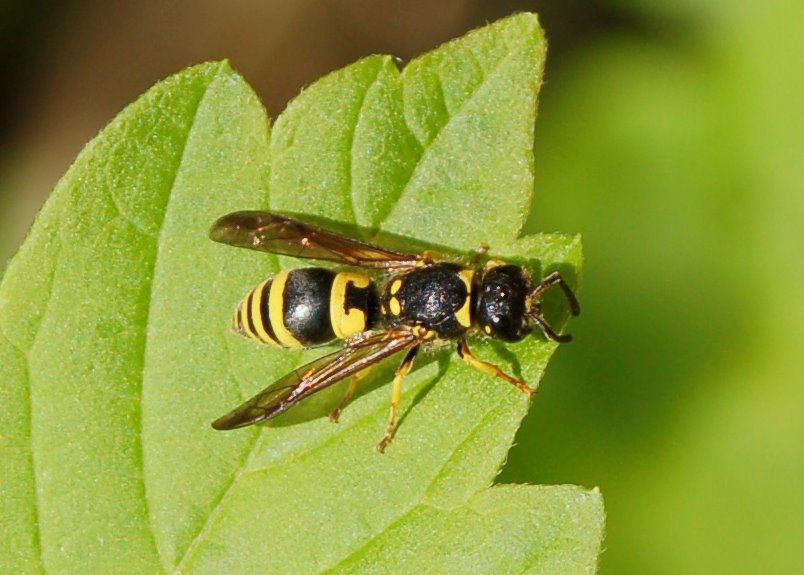 Ancistrocerus sp. -  Eumenidae