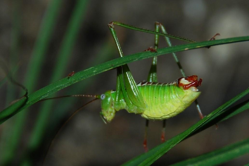 Andreiniimon nuptialis -  Phaneropteridae