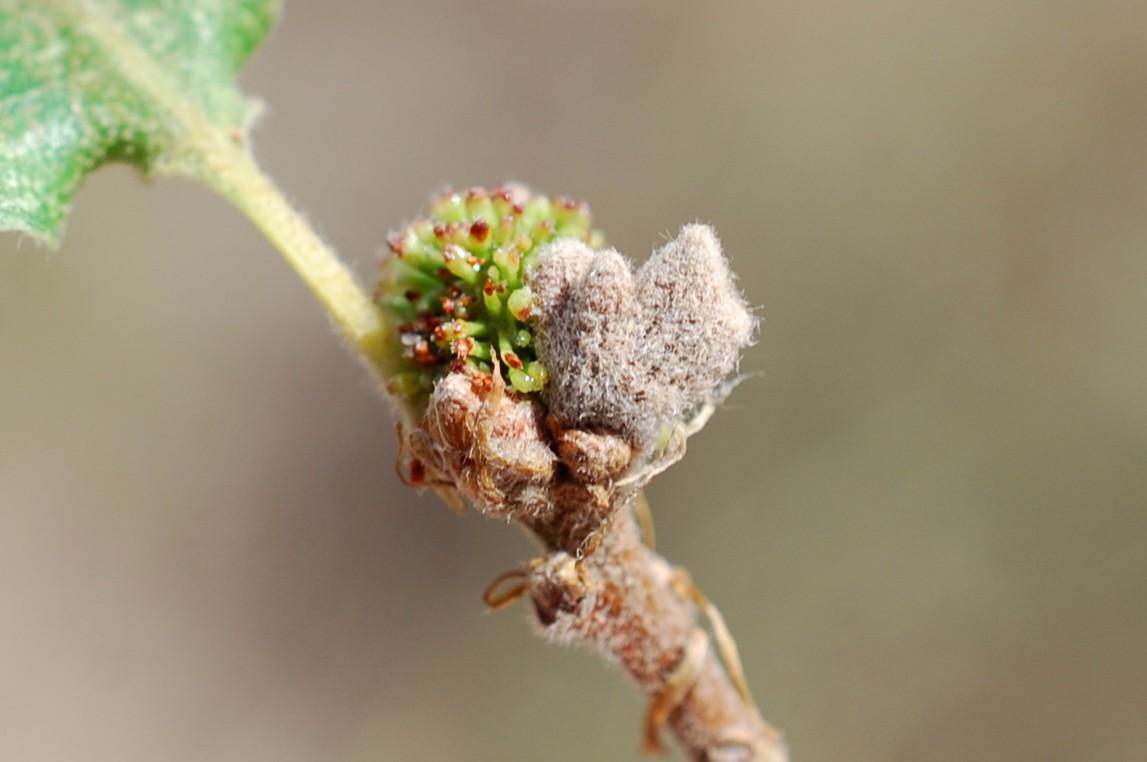 Andricus amblycerus - Hymenoptera, Cynipidae 6