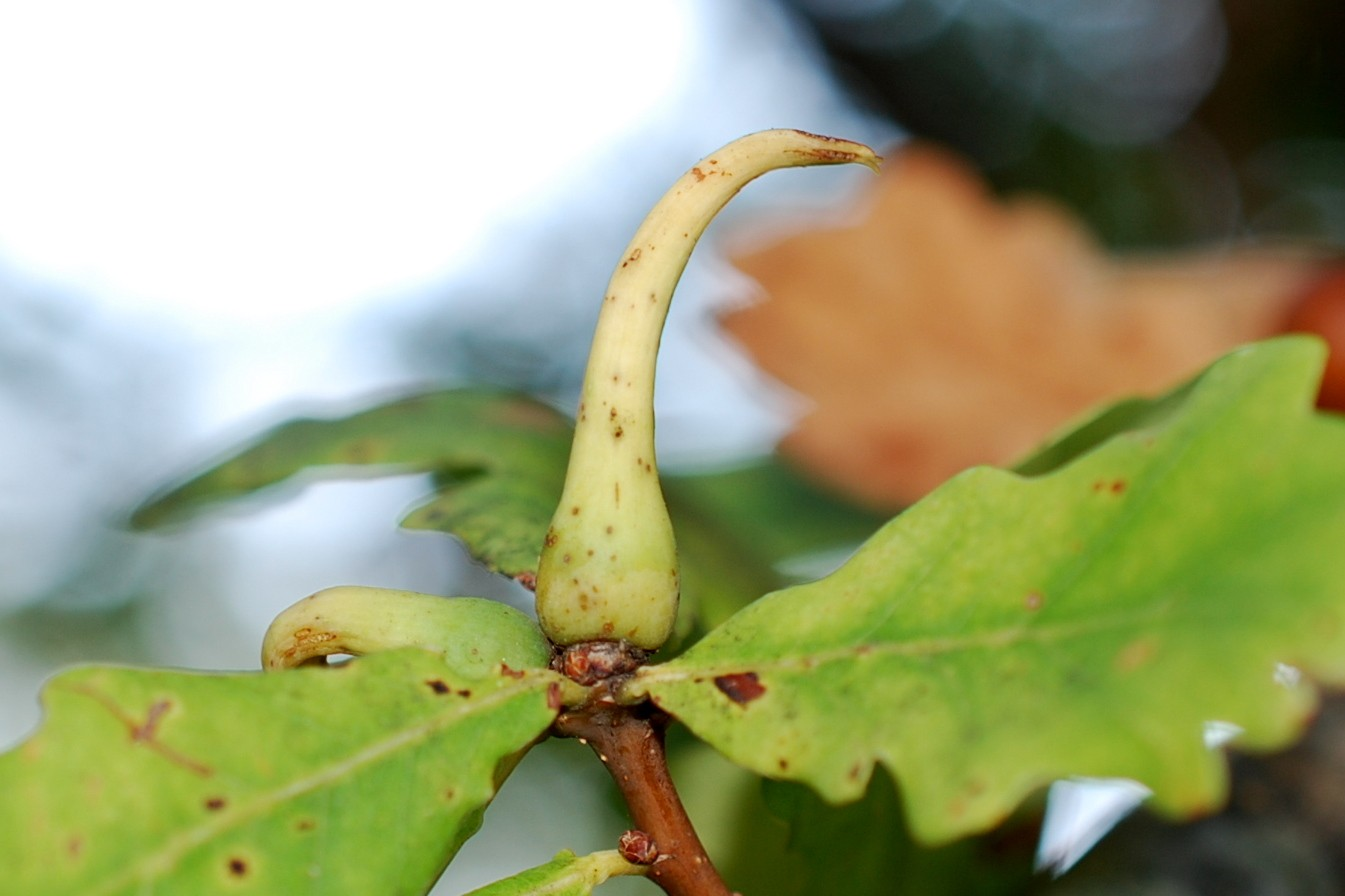 Andricus aries - Hymenoptera, Cynipidae
