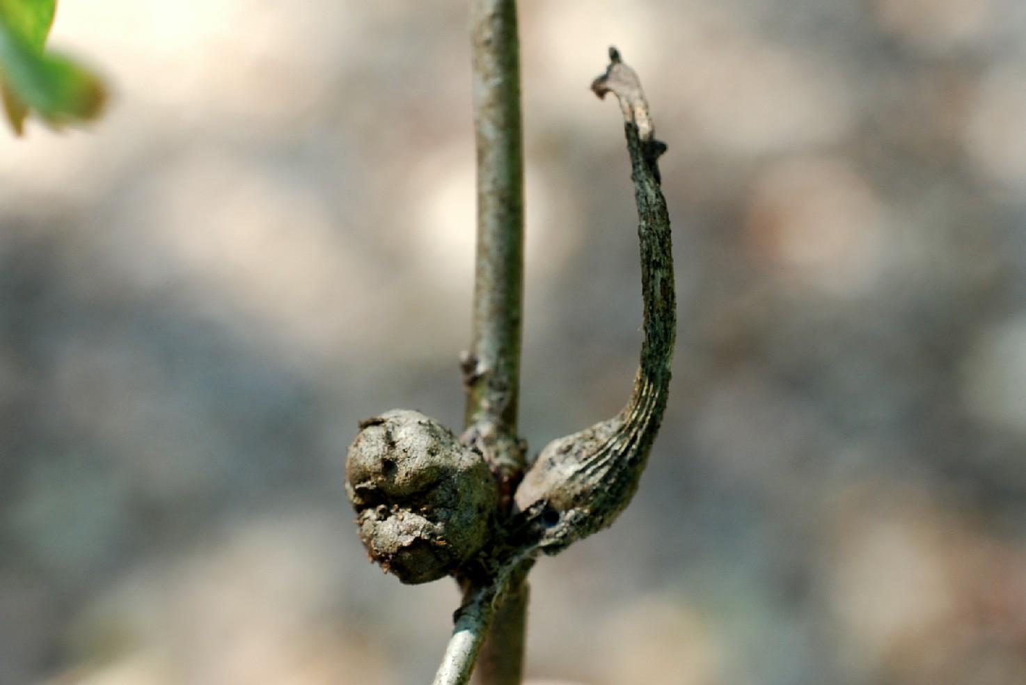 Andricus aries - Hymenoptera, Cynipidae 4