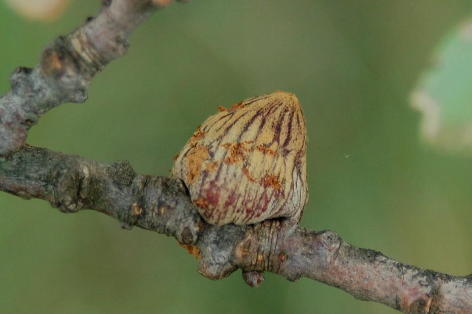 Andricus conificus - Hymenoptera, Cynipidae