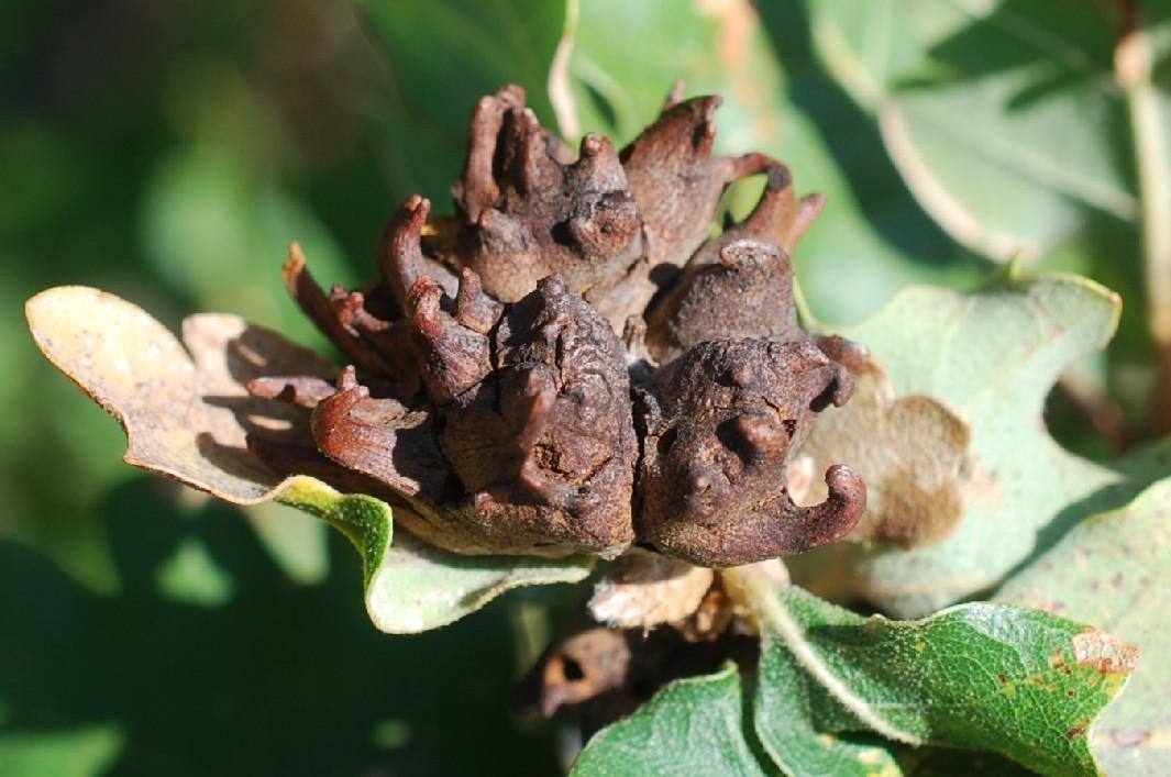 Andricus coriarius - Hymenoptera, Cynipidae