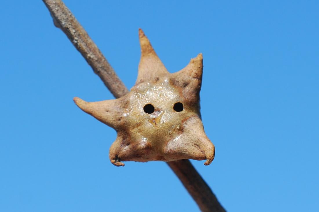 Andricus coronatus - Hymenoptera, Cynipidae