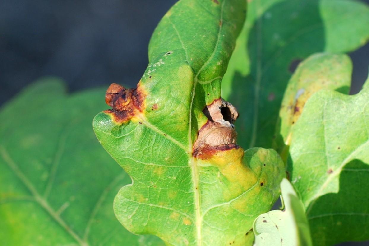 Andricus curvator - Hymenoptera, Cynipidae