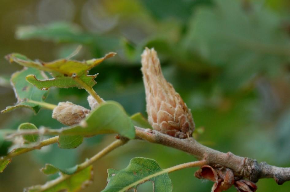 Andricus fecundator - Hymenoptera, Cynipidae