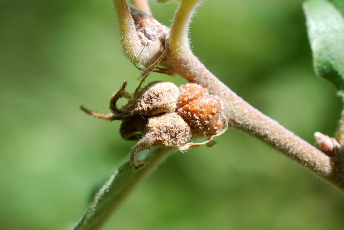 Andricus galeatus - Hymenoptera, Cynipidae