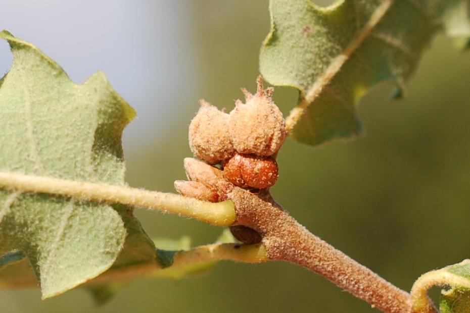 Andricus galeatus - Hymenoptera, Cynipidae 6