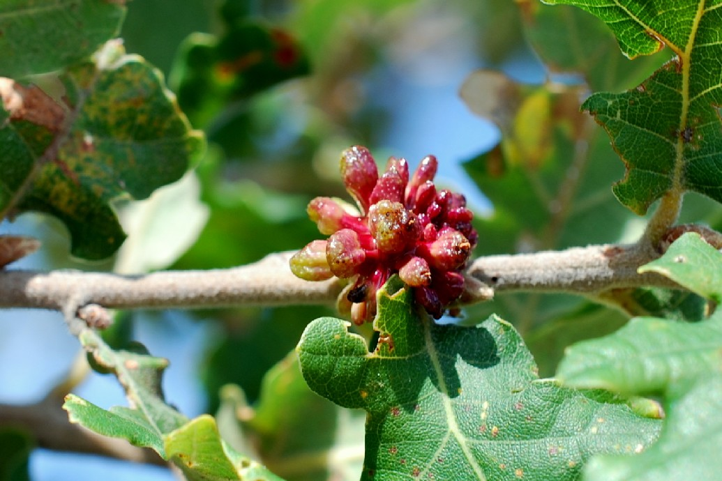 Andricus grossulariae - Hymenoptera, Cynipidae 10