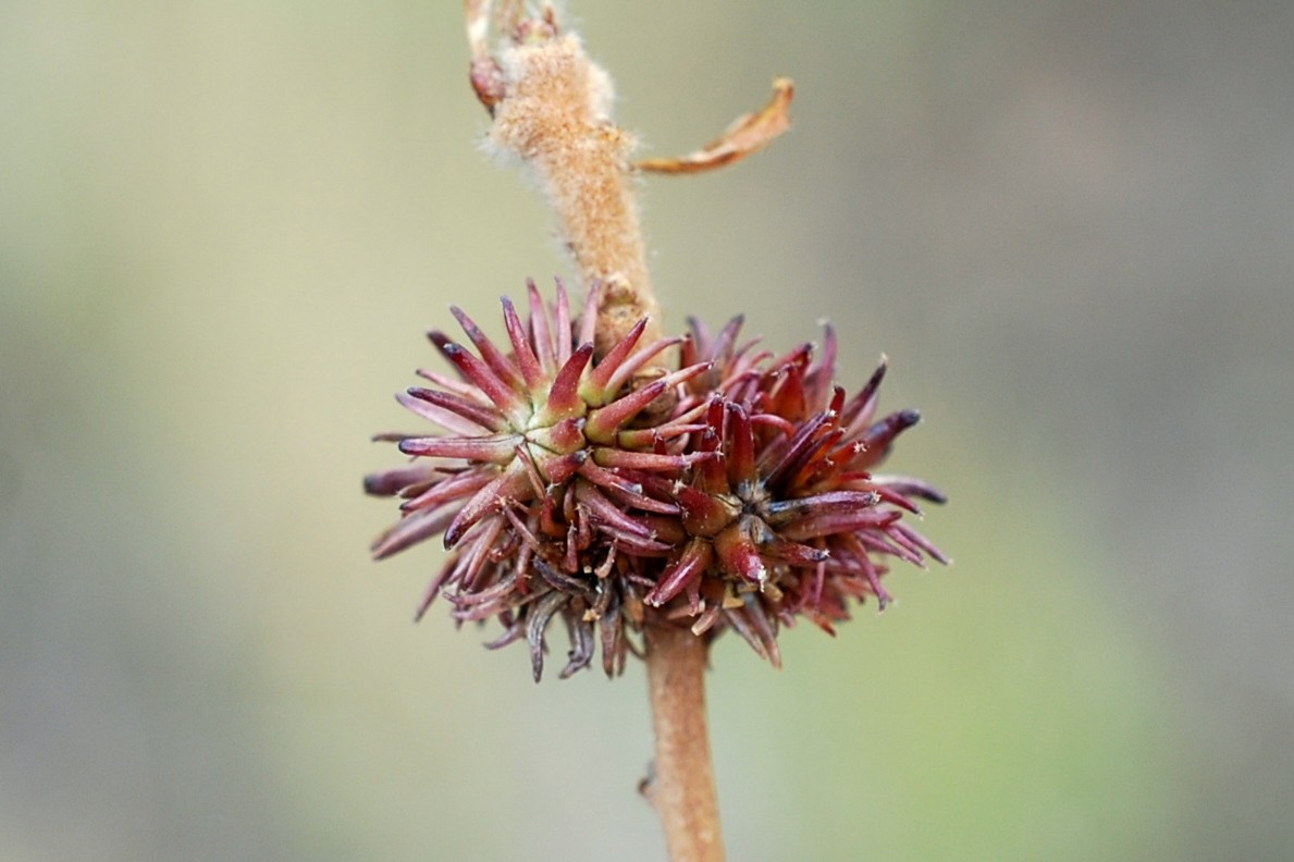 Andricus hystrix - Hymenoptera, Cynipidae