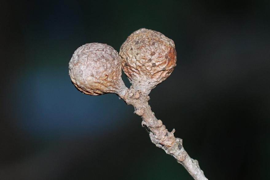 Andricus infectorius - Hymenoptera, Cynipidae