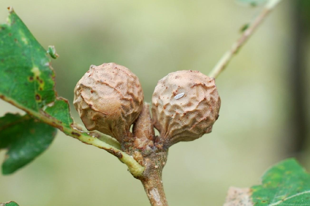 Andricus infectorius - Hymenoptera, Cynipidae 7