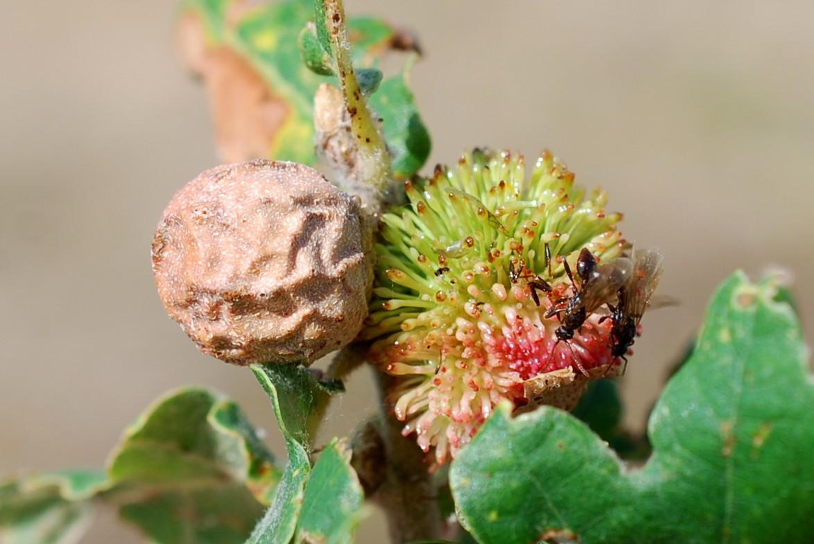 Andricus infectorius - Hymenoptera, Cynipidae 8