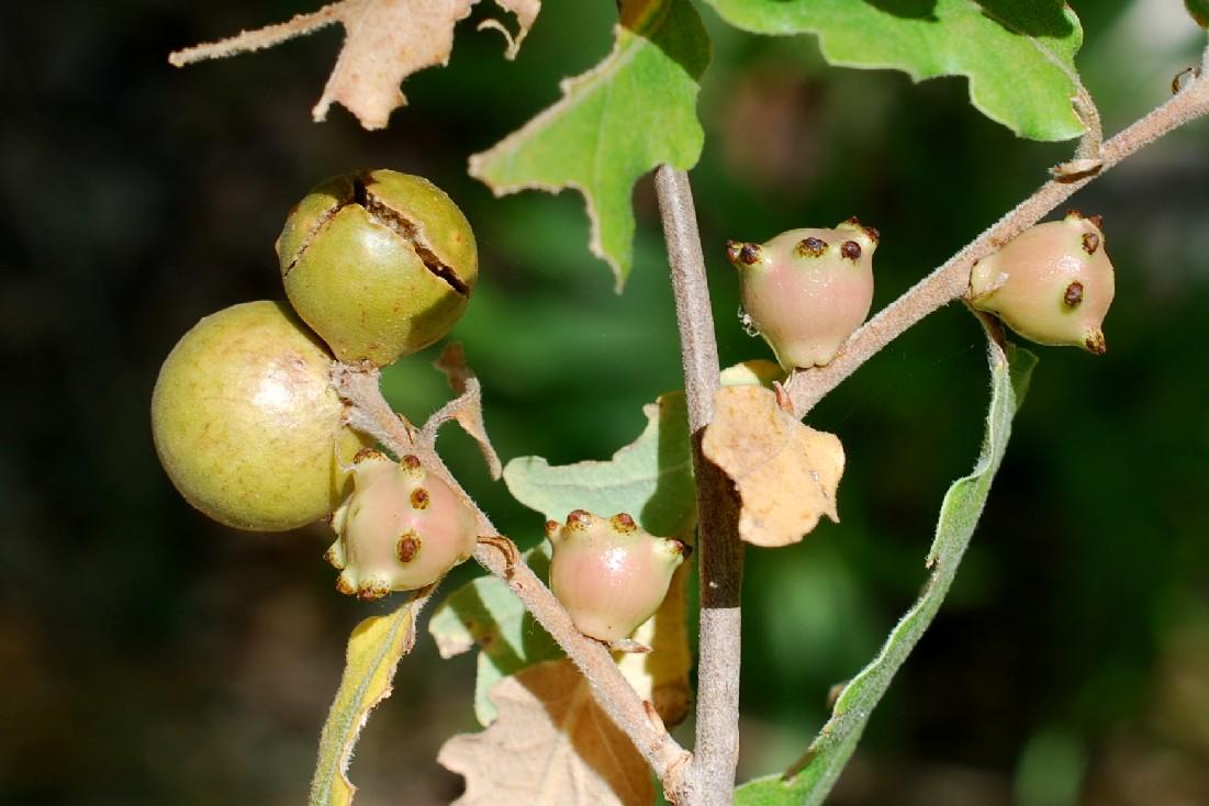 Andricus kollari - Hymenoptera, Cynipidae 5