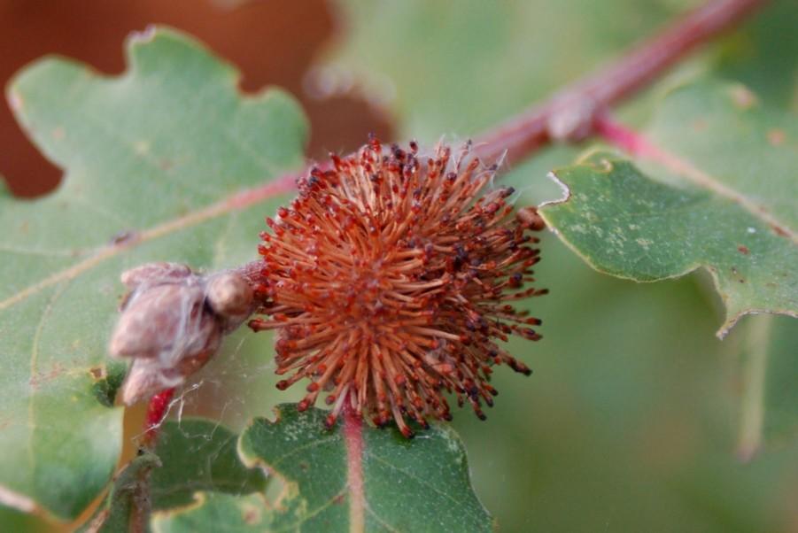 Andricus lucidus - Hymenoptera, Cynipidae