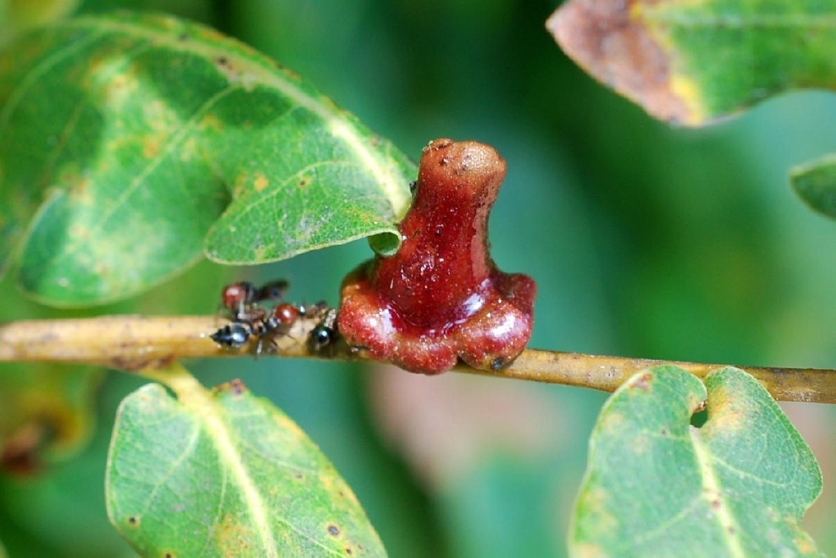 Andricus mitratus - Hymenoptera, Cynipidae 2