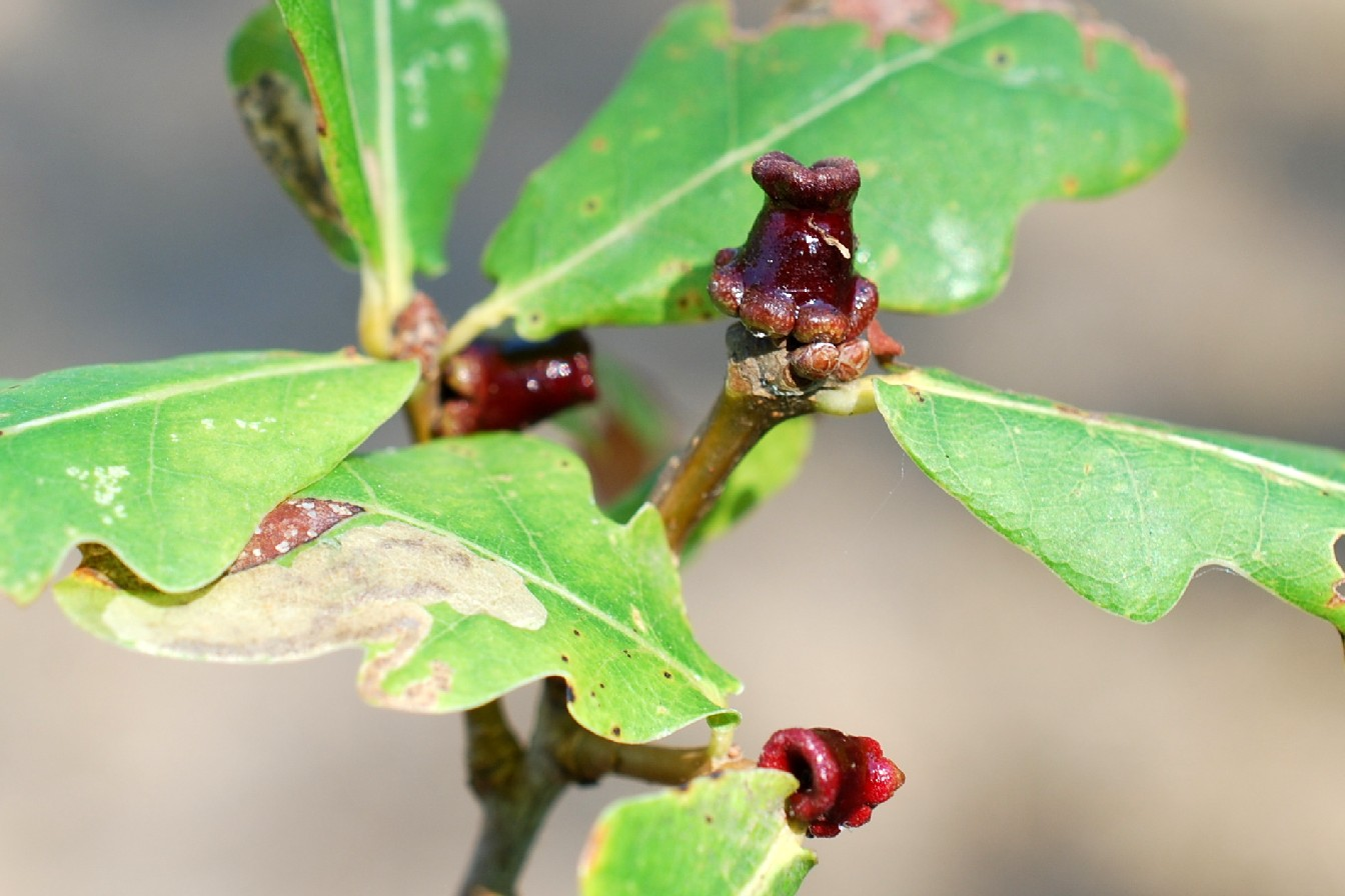Andricus mitratus - Hymenoptera, Cynipidae 5