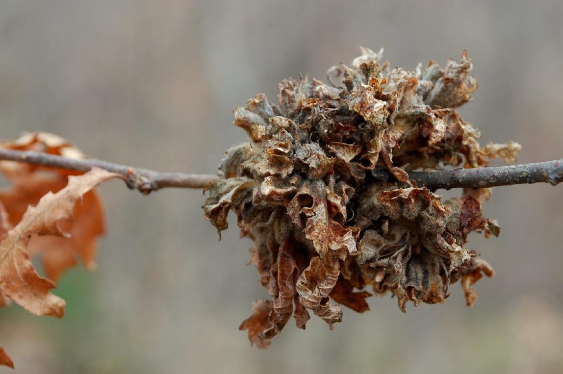 Andricus multiplicatus - Hymenoptera, Cynipida3
