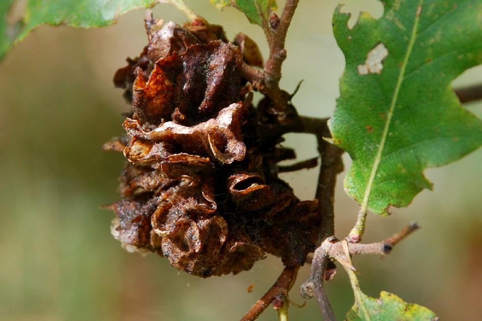 Andricus multiplicatus - Hymenoptera, Cynipidae