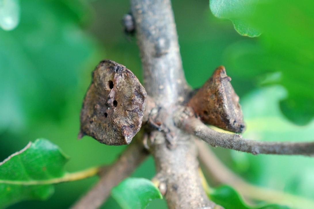 Andricus polycerus - Hymenoptera, Cynipidae