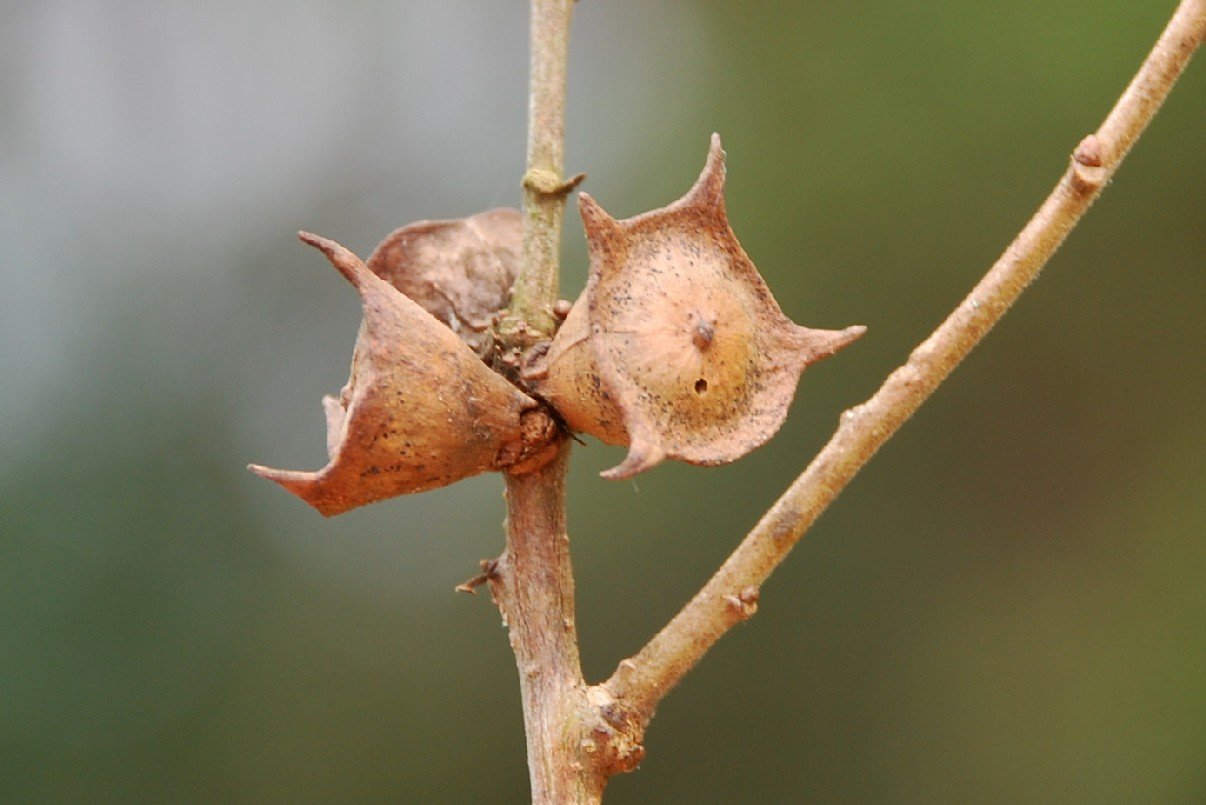 Andricus polycerus