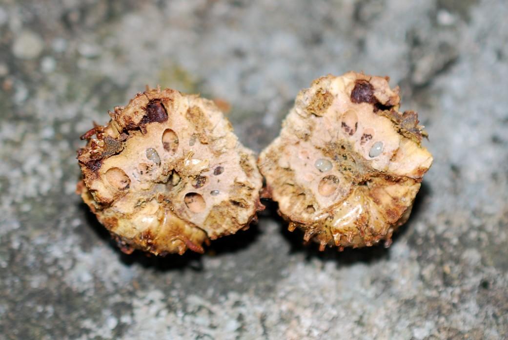 Andricus seckendorffi - Hymenoptera, Cynipidae 3