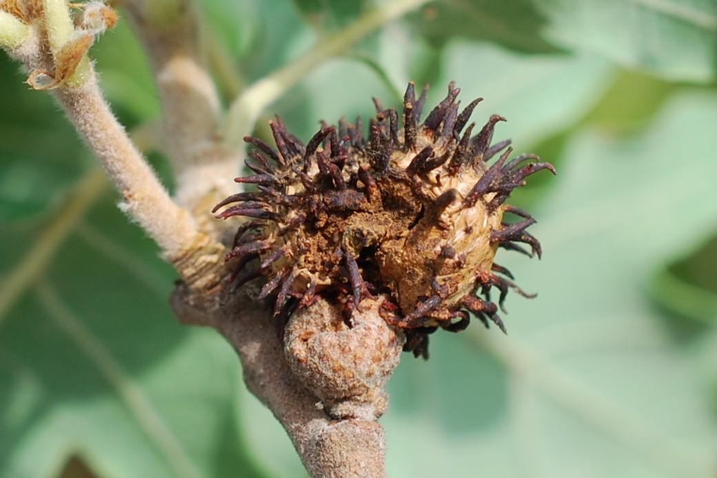 Andricus seckendorffi - Hymenoptera, Cynipidae 6