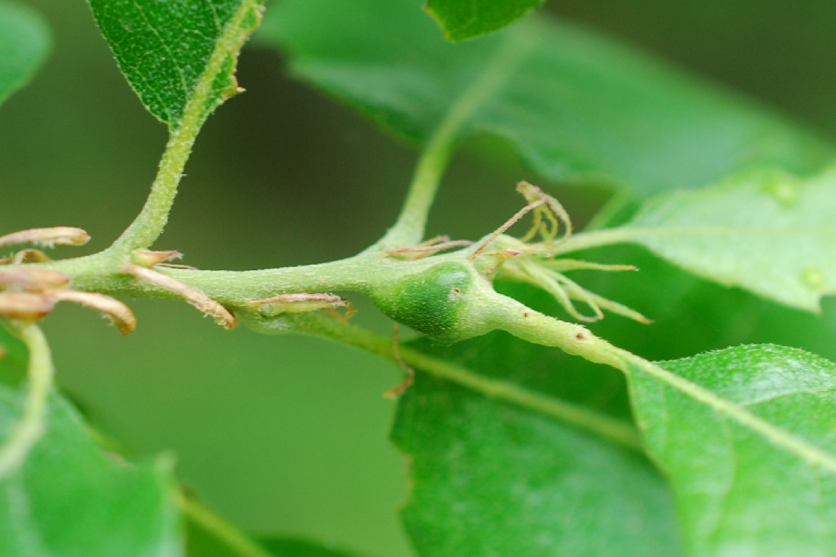 Andricus sp. - Hymenoptera, Cynipidae