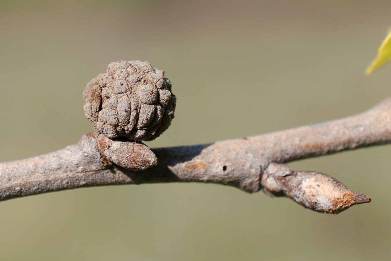 Andricus truncicolus - Hymenoptera, Cynipidae