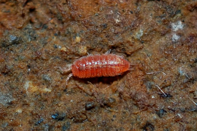 Androniscus sp. - Trichoniscidae