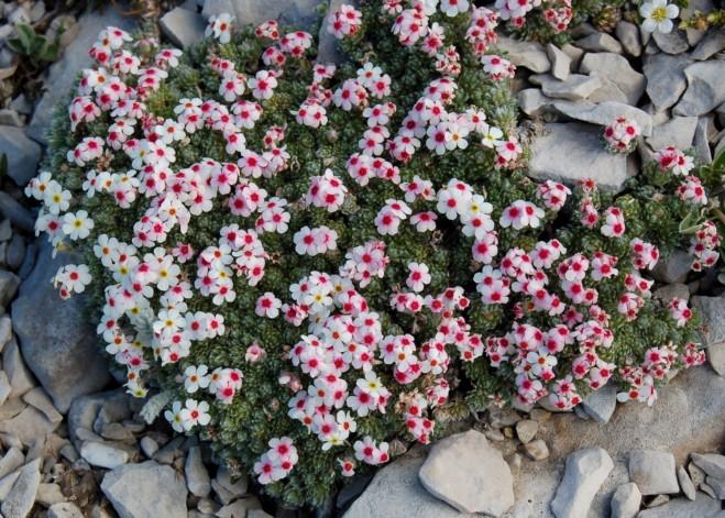 Androsace villosa subsp. villosa