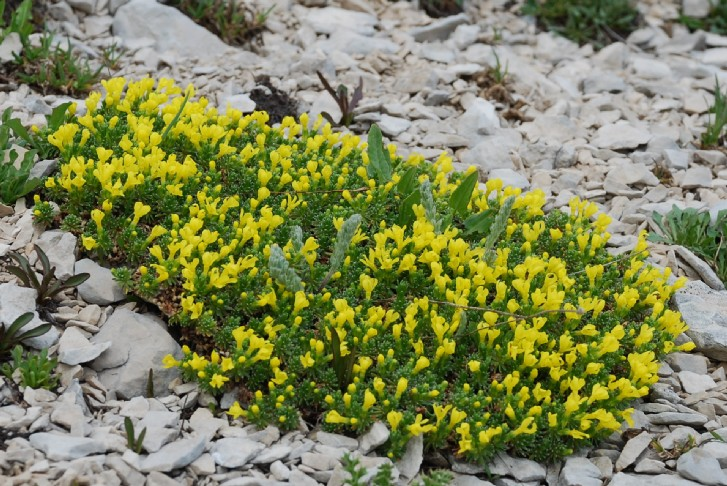 Androsace vitaliana subsp. praetutiana