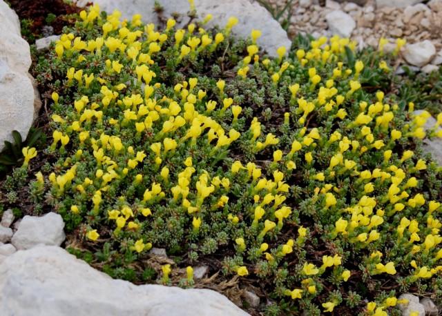 Androsace vitaliana subsp. praetutiana 2