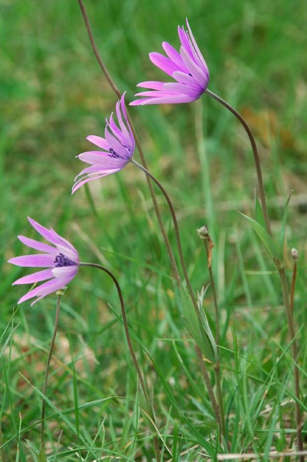 Anemone hortensis subsp. hortensis 10
