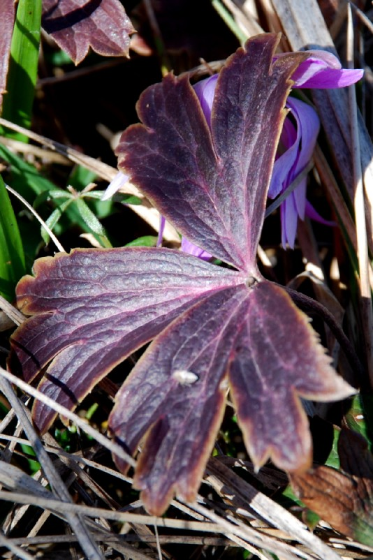 Anemone hortensis subsp. hortensis