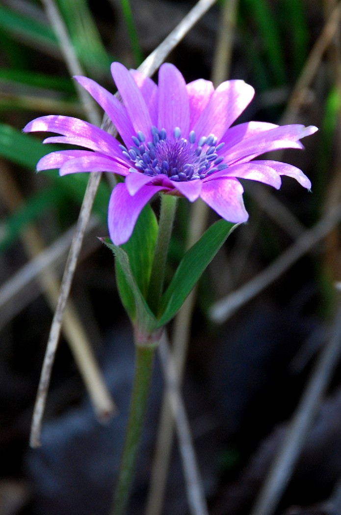 Anemone hortensis subsp. hortensis 6