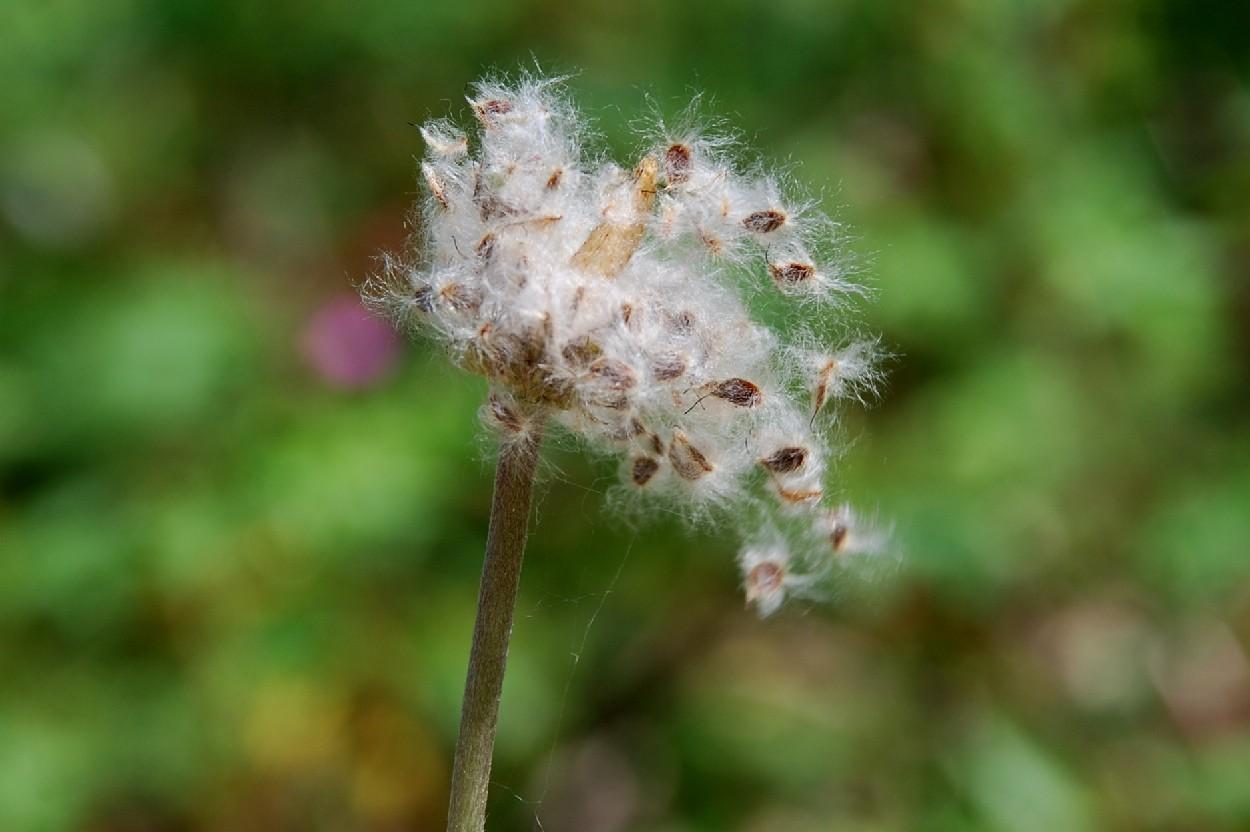 Anemone hortensis subsp. hortensis 8