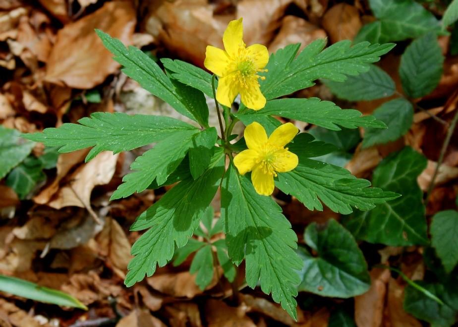 Anemone ranunculoides subsp. ranunculoides