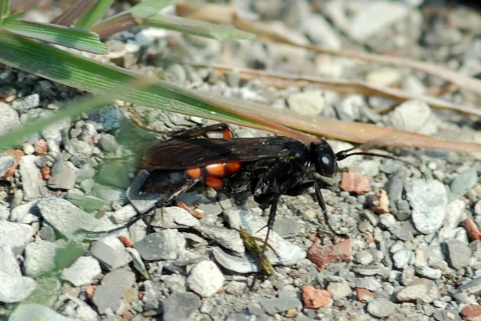 Anoplius viaticus - Pompilidae