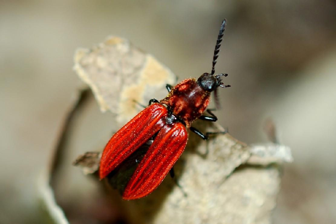 Anostirus purpureus - Elateridae