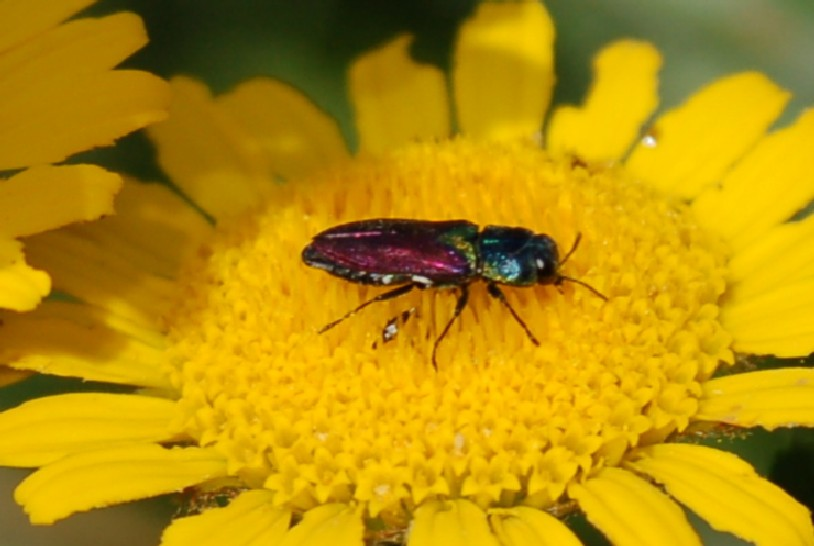Antaxia scutellaris - Buprestidae
