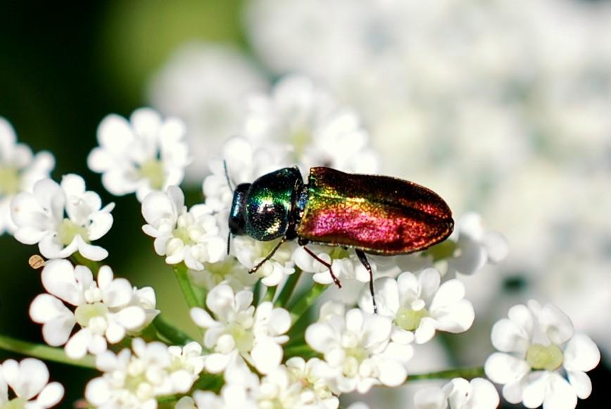 Antaxia sp. - Buprestidae