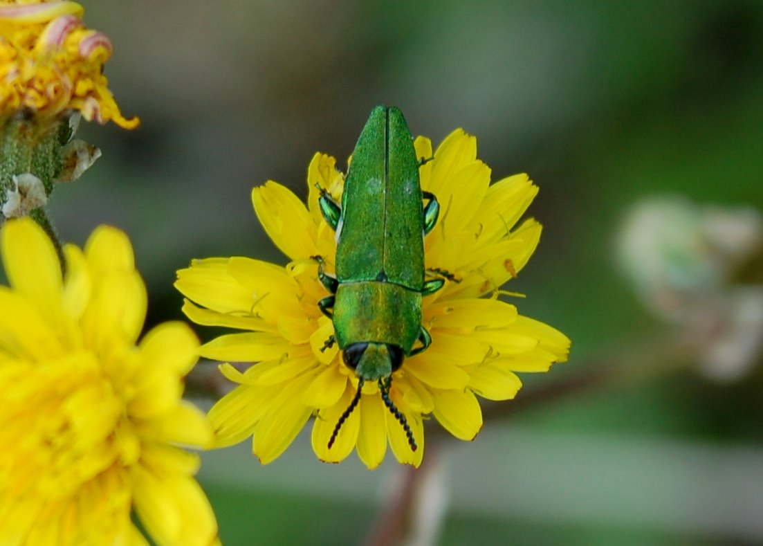 Anthaxia hungarica - Buprestidae