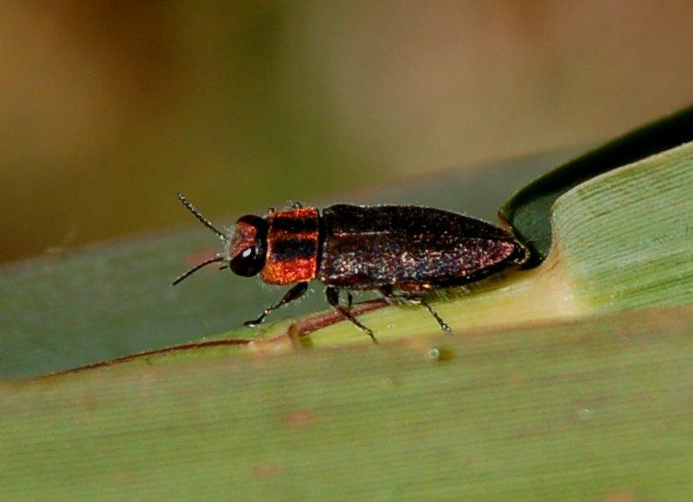 Anthaxia manca - Buprestidae