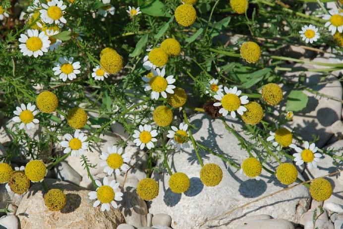 Anthemis altissima 10